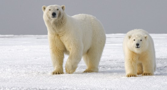 Polar Bears starving due to global warming